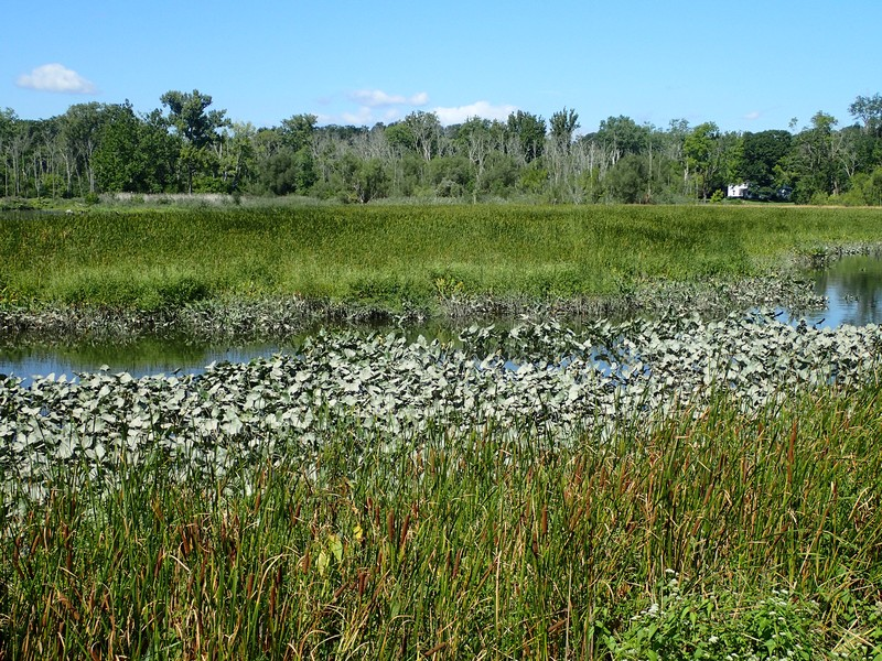 Brackish tidal marsh dominated by narrow-leaved cattail (Typha angustifolia) at Moodna Creek Mouth.. Gregory J. Edinger