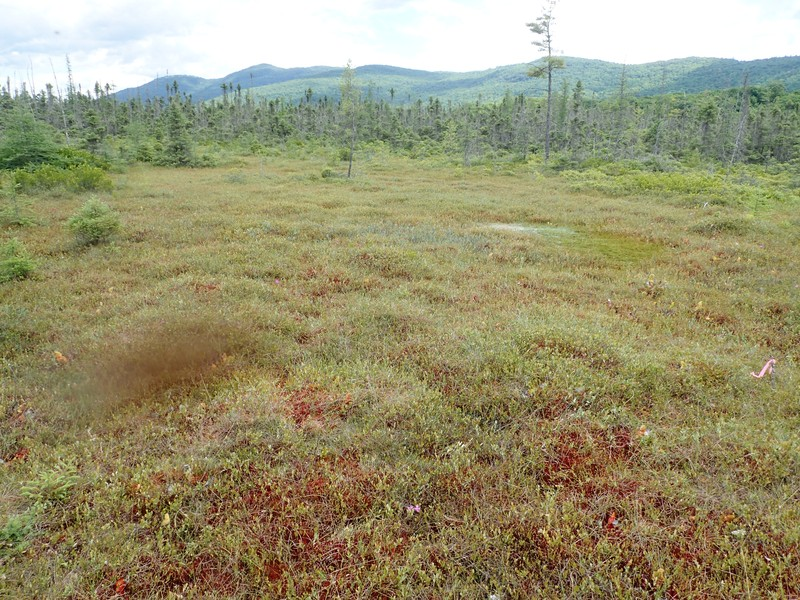 Dwarf shrub bog at Dunham Bay Marsh Gregory J. Edinger