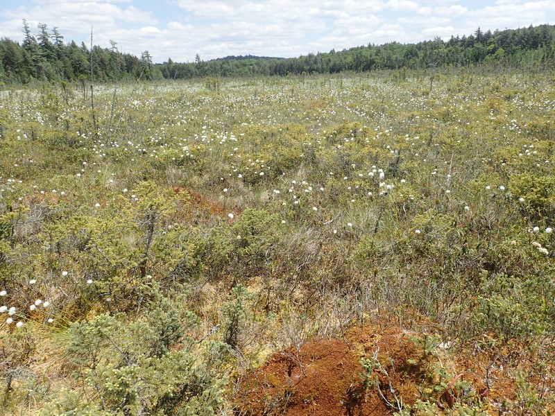 Dwarf shrub bog at Boulder Bay on Raquette Lake. Gregory J. Edinger