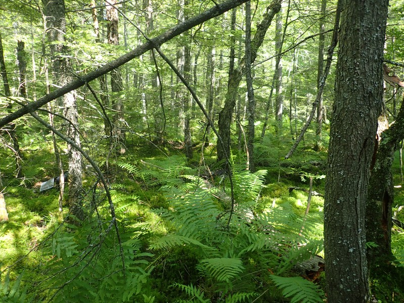 Hemlock-hardwood swamp at Ralph Road State Forest. Gregory J. Edinger