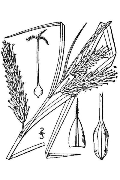 Carex schweinitzii line drawing Britton, N.L., and A. Brown (1913); downloaded from USDA-Plants Database.