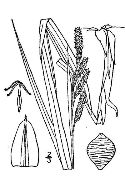 Carex shortiana line drawing Britton, N.L., and A. Brown (1913); downloaded from USDA-Plants Database.