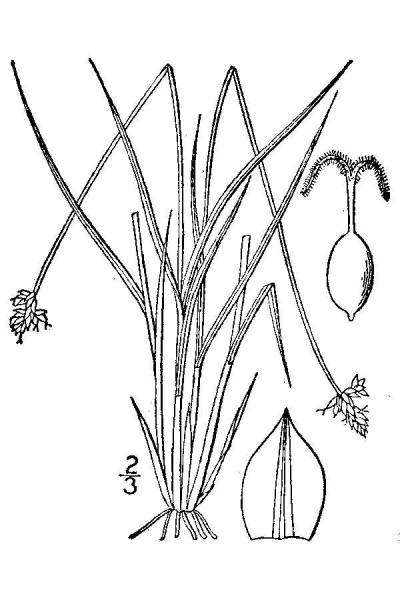 Carex tenuiflora Britton, N.L., and A. Brown (1913); downloaded from USDA-Plants Database.