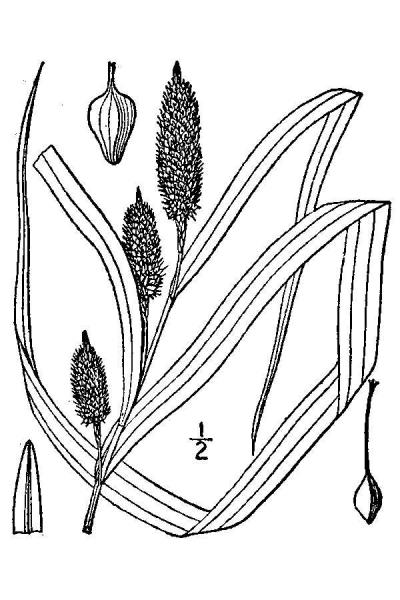 Carex typhina line drawing Britton, N.L., and A. Brown (1913); downloaded from USDA-Plants Database.