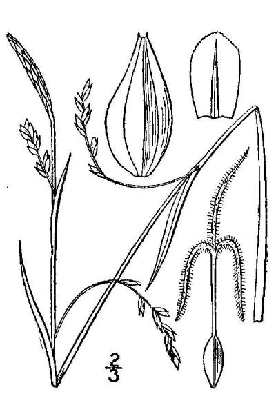 Carex vaginata line drawing Britton, N.L., and A. Brown (1913); downloaded from USDA-Plants Database.