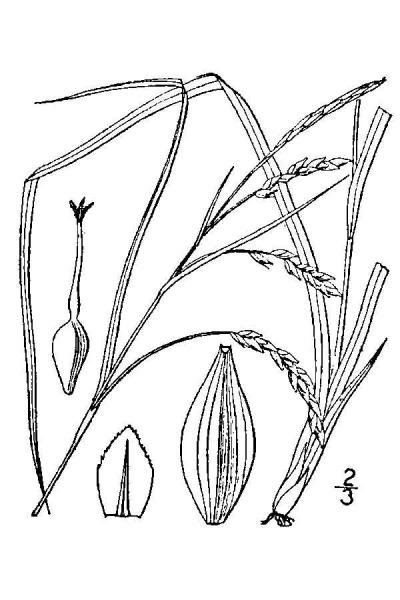 Carex venusta line drawing Britton, N.L., and A. Brown (1913); downloaded from USDA-Plants Database.