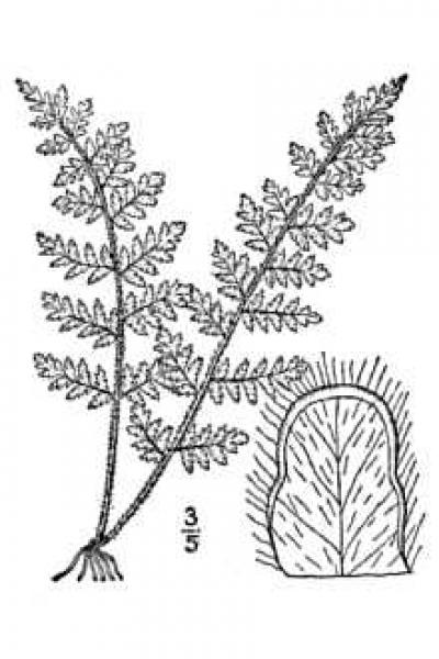 Cheilanthes lanosa line drawing Britton, N.L., and A. Brown (1913); downloaded from USDA-Plants Database.