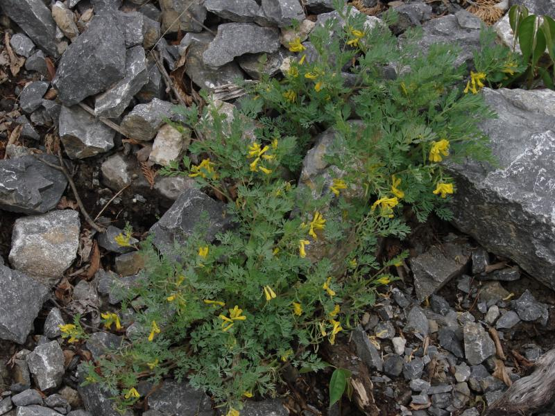 Corydalis aurea  Stephen M. Young