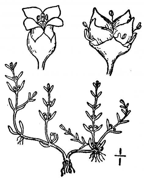 Crassula aquatica illustration USDA-NRCS PLANTS Database