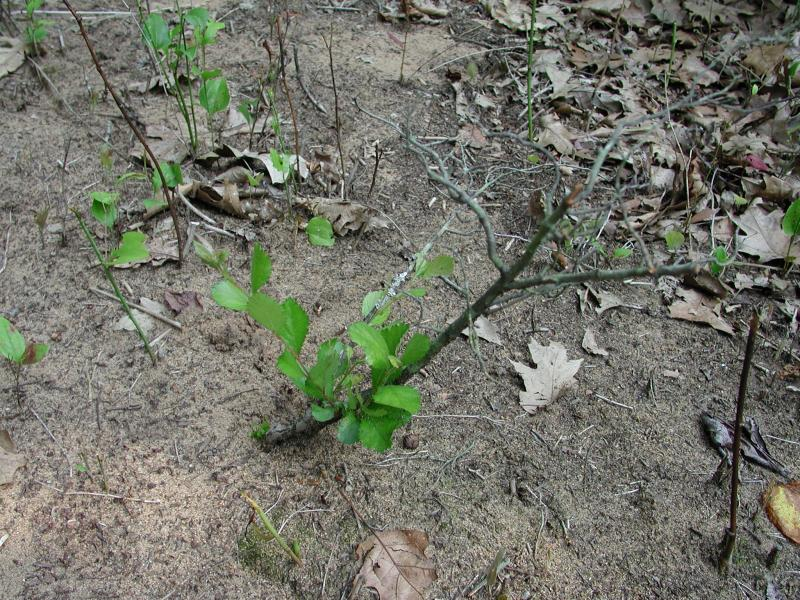 Small plant that is browsed Stephen M. Young