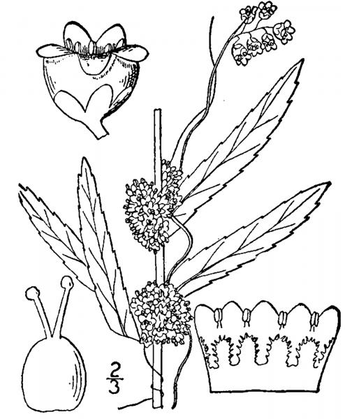 Cuscuta cephalanthi illustration USDA-NRCS PLANTS Database