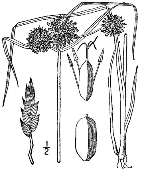 Cyperus lupulinus ssp. lupulinus illustration USDA-NRCS PLANTS Database