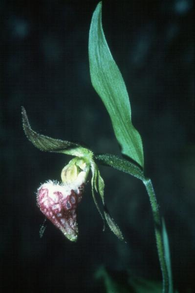 Cypripedium arietinum Bill Brown