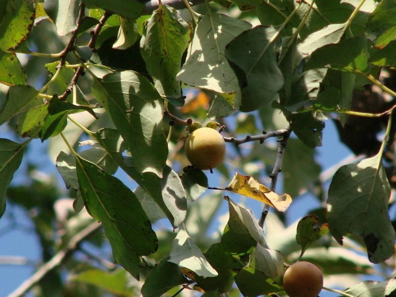 Diospyros virginiana fruit and leaves Stephen M. Young
