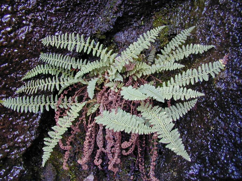 Dryopteris fragrans  Troy Weldy