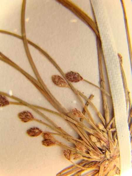 Eleocharis aestuum spikelet and base of plant Richard M. Ring  -- Courtesy of the William andLynda Steere Herbarium of The New York Botanical Garden