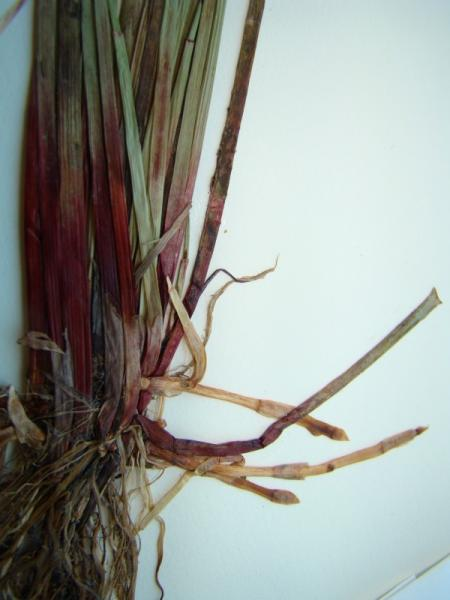 Eleocharis_tenuis_var._pseudoptera stem bases, roots, and rhizome Richard M. Ring -- Courtesy of the William andLynda Steere Herbarium of The New York Botanical Garden