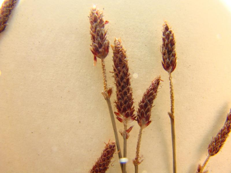 Eleocharis tricostata spikelets Richard M. Ring -- Courtesy of the William and