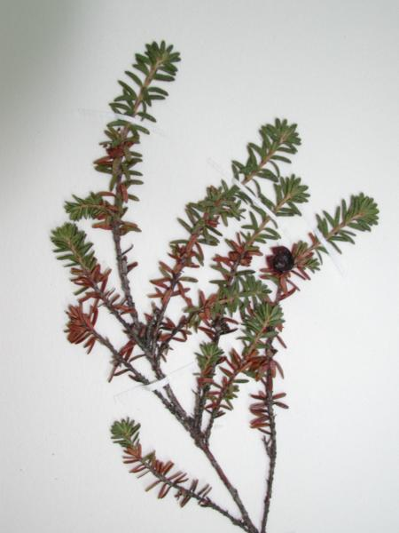 Empetrum eamesii ssp. atropurpureum specimen at the New York State Museum herbarium. Stephen M. Young