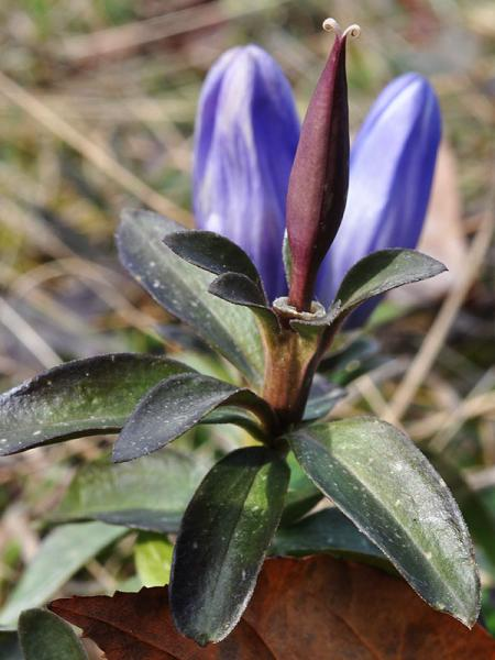 Gentiana saponaria fruit David Smith