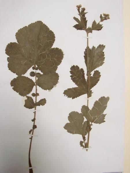 Geum macrophyllum leaves and plant Stephen M. Young