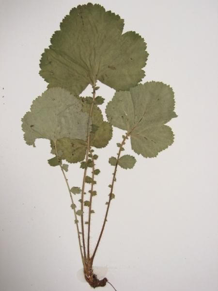 Geum macrophyllum leaves Stephen M. Young