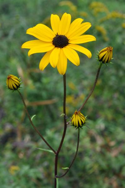 Helianthus angustifolius flowers David Smith