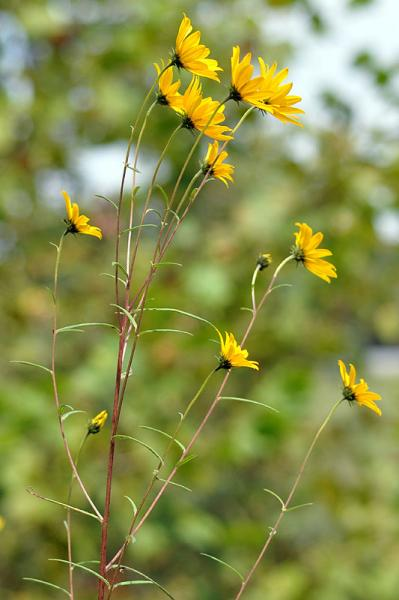 Helianthus angustifolius plant David Smith