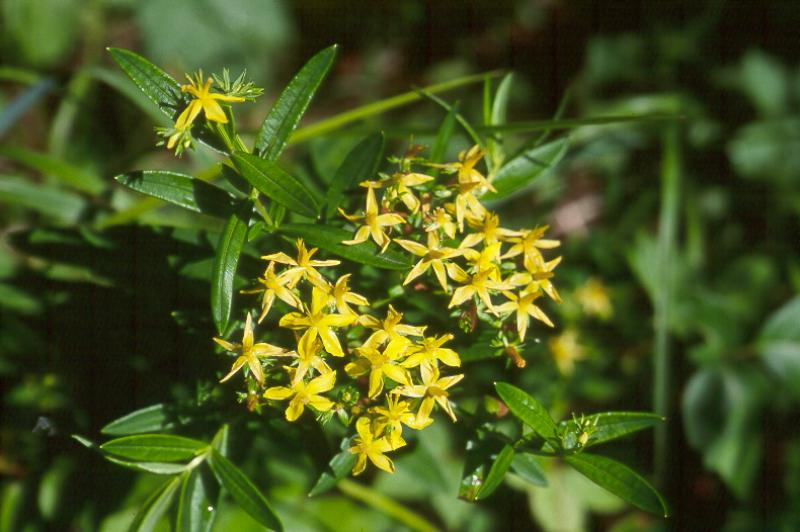 Hypericum adpressum in flower Stephen M. Young