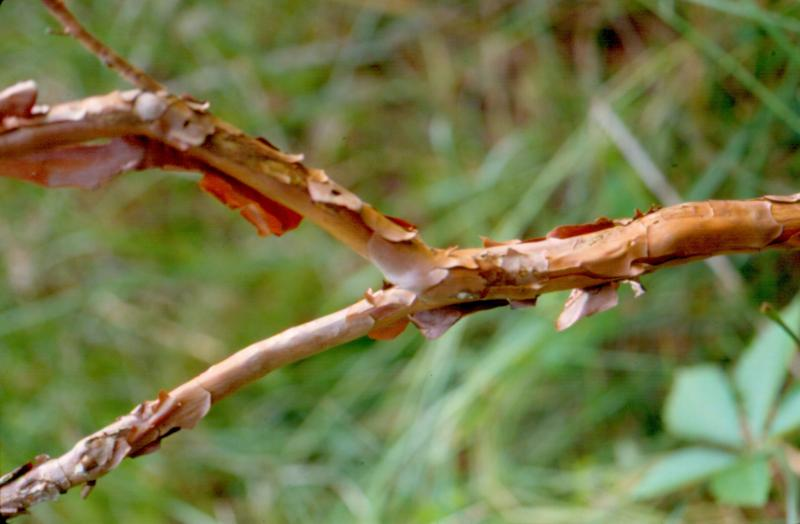 Hypericum densiflorum branches with flaky bark Stephen M. Young