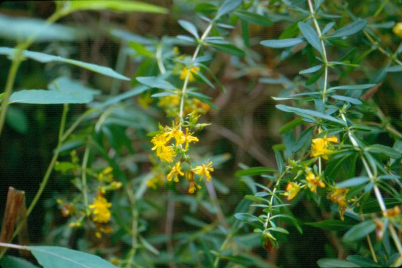 Hypericum densiflorum flowers Stephen M. Young
