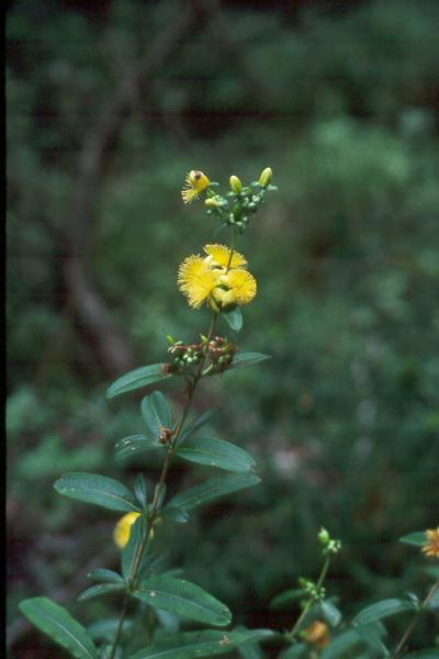 Hypericum prolificum Paul Rutledge