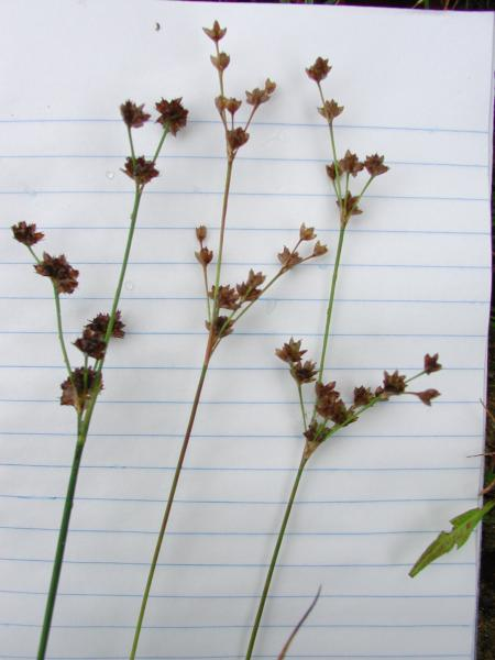 Juncus acuminatus on left with Juncus debilis in center and right Stephen M. Young