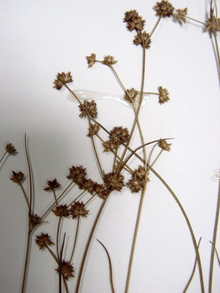 Juncus subcaudatus spikelets Stephen M. Young