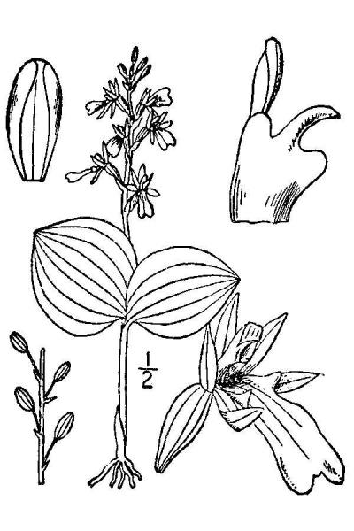 Listera convallarioides line drawing Britton, N.L., and A. Brown (1913); downloaded from USDA-Plants Database.
