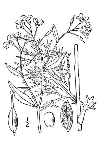 Neobeckia aquatica Britton, N.L., and A. Brown (1913); downloaded from USDA-Plants Database
