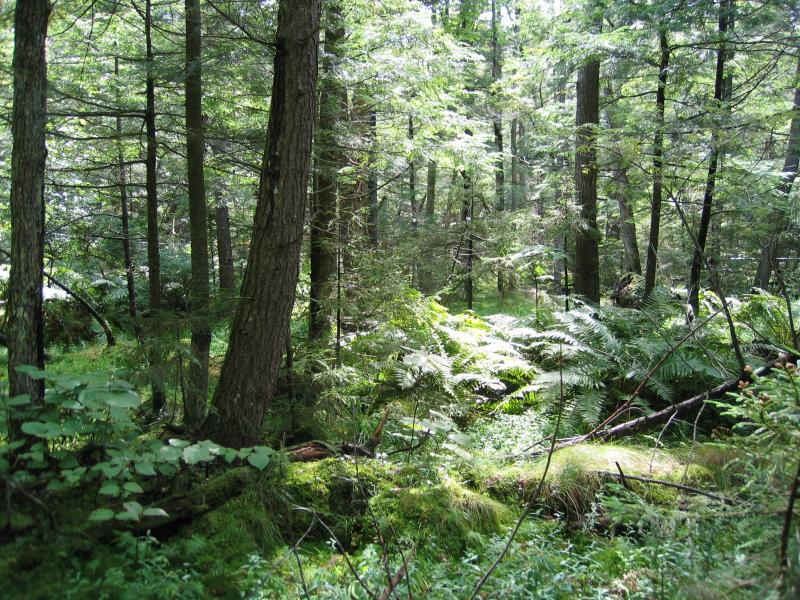 Hemlock-hardwood swamp or spruce-fir swamp at Johnnycake Lake Swamp Gregory J. Edinger