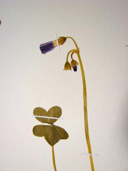 Oxalis violacea leaf and flowers Stephen M. Young