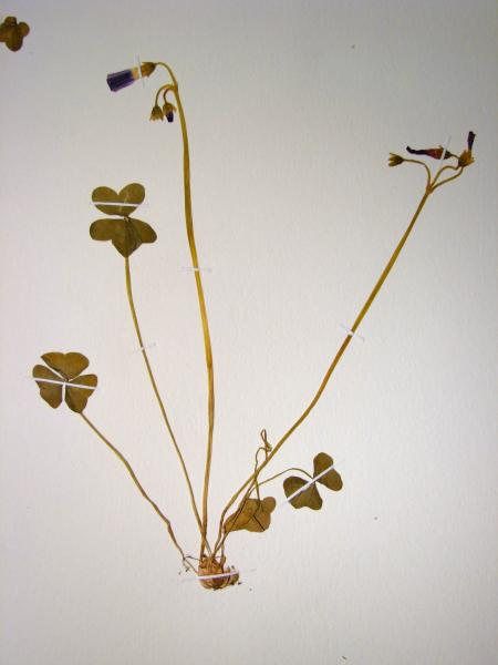 Oxalis violacea plant Stephen M. Young