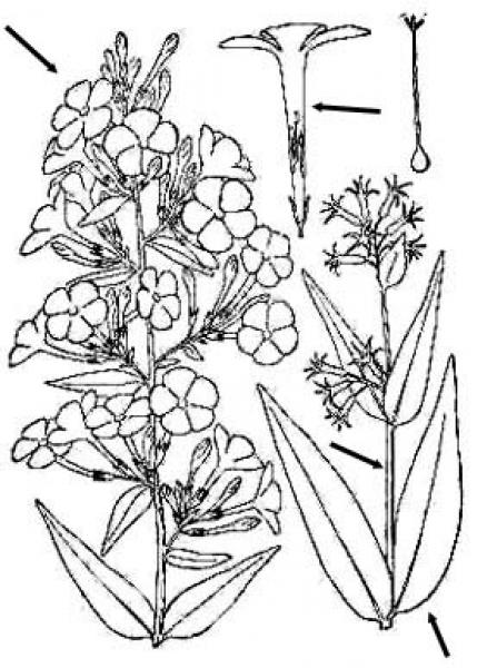 Phlox maculata line drawing Britton, N.L., and A. Brown (1913); downloaded from USDA-Plants Database