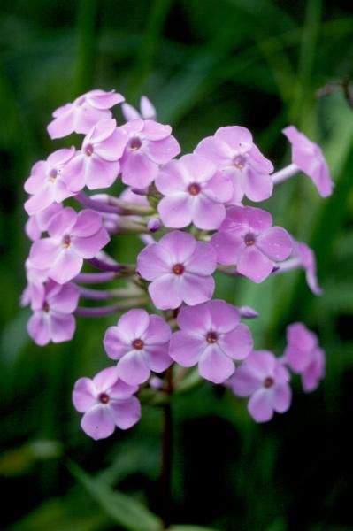 Phlox maculata Stephen M. Young