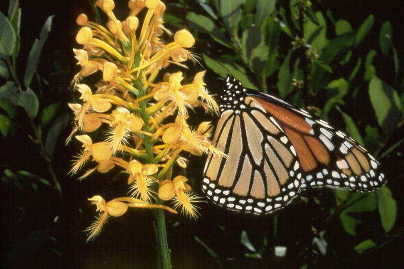 Platanthera ciliaris with monarch butterfly Tagliapietra-Cherbavaz