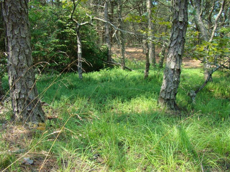 Platanthera cristata habitat. Kimberly J. Smith