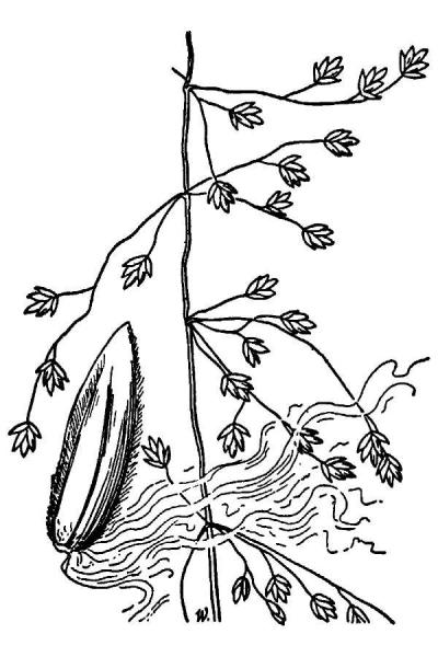 Poa sylvestris line drawing Hitchcock, A.S. (1951); downloaded from USDA-Plants Database