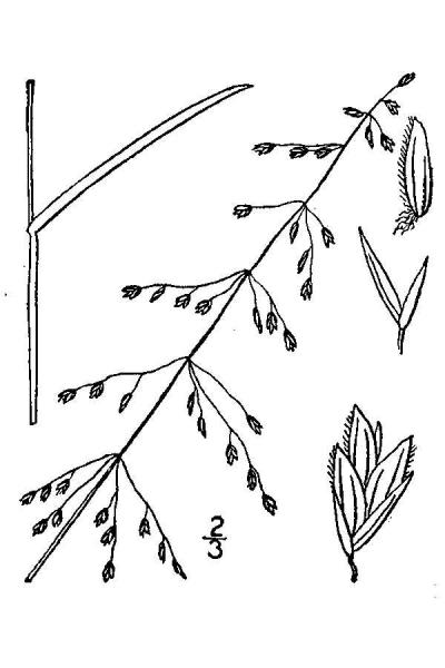 Poa sylvestris line drawing Britton, N.L., and A. Brown (1913); downloaded from USDA-Plants Database