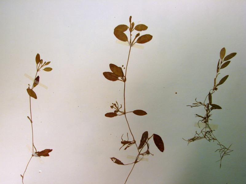 Potamogeton diversifolius plants with fruits Stephen M. Young