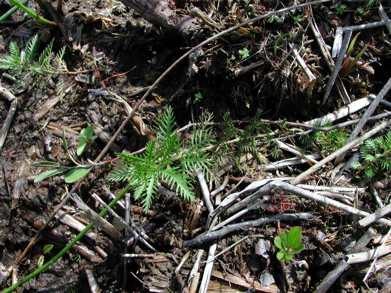Proserpinaca pecintata's comb-like leaves. Stephen M. Young