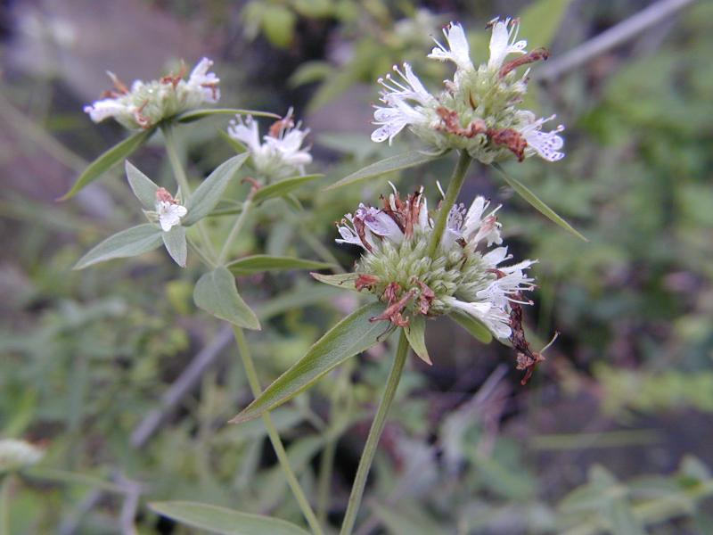 Pycnanthemum torrei flowers Troy Weldy