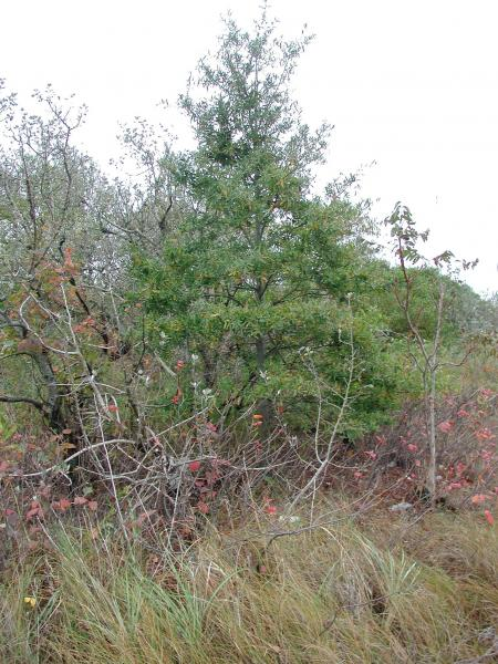 Quercus phellos on a sand dune in Brooklyn Stephen M. Young
