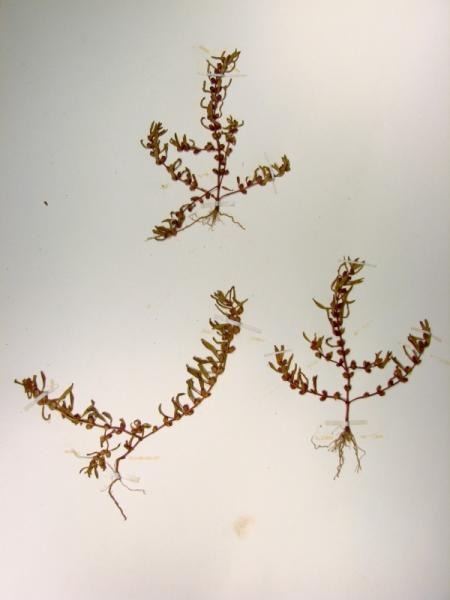 Rotala ramosior plants Stephen M. Young
